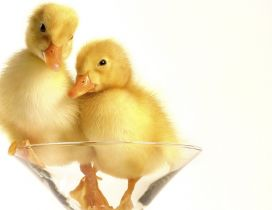 Two chickens duck in the glass