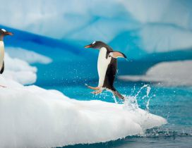Penguin jumping on ice from the ocean