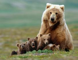Grizzly with cubs HD