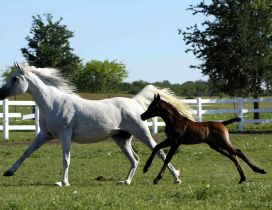 White horse running with brown foal