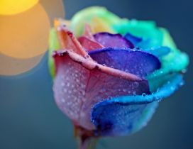A rose in the rainbow colors