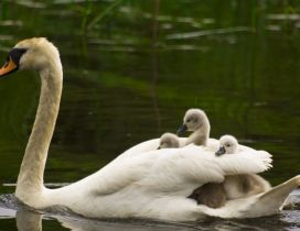 A swan swimming with babies in back