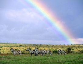 Six zebras on the field under the blue sky with rainbow