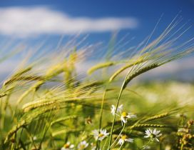 Ears of wheat and white flowers in the field