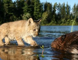 A cute linx in the river water