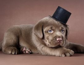 Brown dog with a black hat - Cute dog