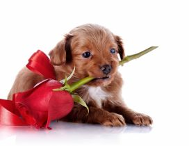 Sweet puppy with a red rose in mouth