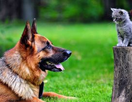 Big german shepherd dog and a kitten in the garden