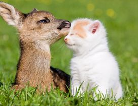 A baby deer and white kitten on the grass - Love moment