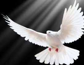 A beautiful white dove on the dark background