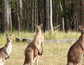 Three kangaroos in the field near the forest
