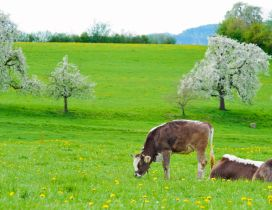 Two cows on the green and blooming hill
