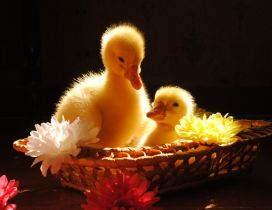 Two chickens duck in a basket with flowers