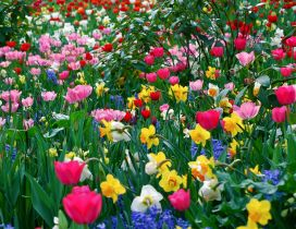A field with pink tulips and white and yellow daffodils