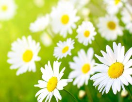 White daisies - Beautiful clean flowers in the grass
