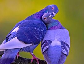 Two pigeons on a branch - Love between pigeons