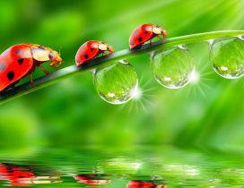 Three red ladybugs climb on a leaf