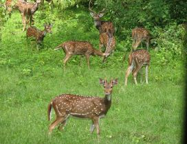 Many deers in the forest - Animals in the forest