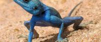 Australian Blue Lizard