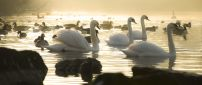 Four swans and many ducks on the lake in the morning