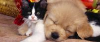 Cute puppy asleep over the cat