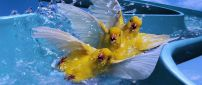 Three ducks on the water slide - Funny wallpaper