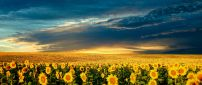Sunflowers field in the sunset - summer time
