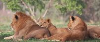 Many lions resting in the shade on the grass