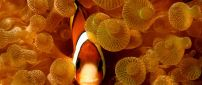 Clown fish in the water - Amphiprion species