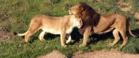 Lion and lioness are cocker -  Wild Animals