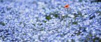 A poppy in a field of purple flowers
