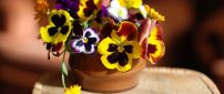 Many colored pansies in the pot