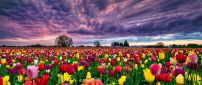 A beautiful field with colorful tulips under the dark sky