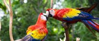 A kiss between two colorful and sweet parrots
