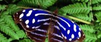 Beautiful blue, brown and white butterfly on the leaves