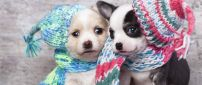 Two cute puppies with hats and scarves
