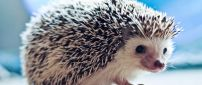 A sweet white and black hedgehog