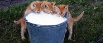 Three brown kittens with snout in milk bucket