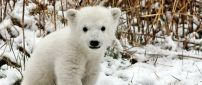 A sweet polar bear cub on the snow