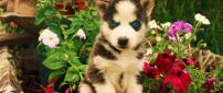 A cute husky puppy with blue eyes between flowers