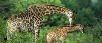 Giraffe mother cares for her baby