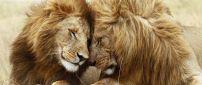 A lions couple in the grass - Love moment