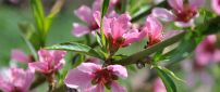 A branch with pink flowers - Spring wallpaper