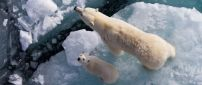 Polar bears on the ice, mother and cub