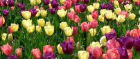 Beautiful tulips in the field - Spring flowers