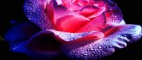 Purple and pink rose with water drops on a black background