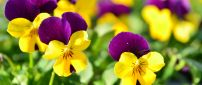 Yellow and purple pansies in the garden