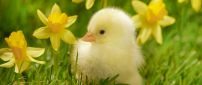Yellow chicken between yellow daffodils in the grass