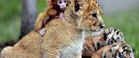 Leopard cub with a monkey on back