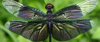 Splendid colored dragonfly insect